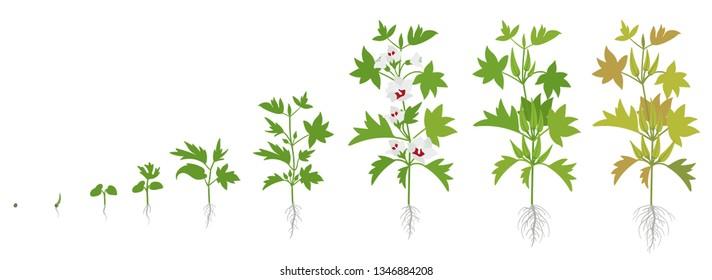 Crop stages of Okra. Growing okro plant. Harvest growth vegetable. Abelmoschus esculentus. Vector flat Illustration.