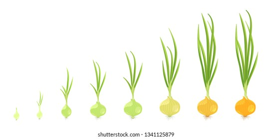 Crop stages of onion. Vector Illustration growing onion plants. Bulbs life cycle. Harvest growth biology. Allium.
