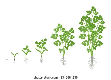 Crop stages of Parsley. Growing garden parsley plant. Harvest growth. Petroselinum crispum. Vector flat Illustration.