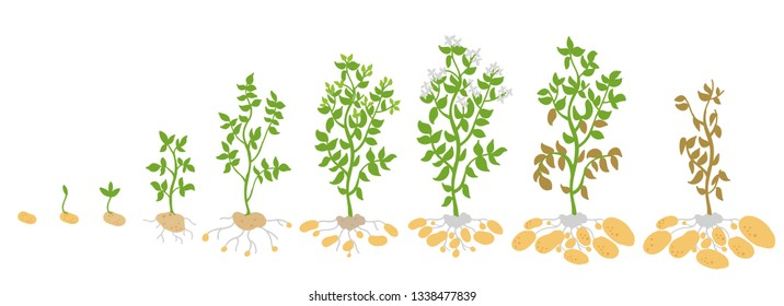 Crop stages of potato. Vector Illustration growing plants. The life cycle. Harvest growth biology. Solanum tuberosum.