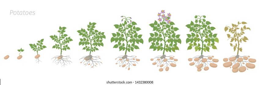 Crop stages of potatoes plant. Growing spud plants. The life cycle. Harvest potato growth animation progression. Solanum tuberosum.