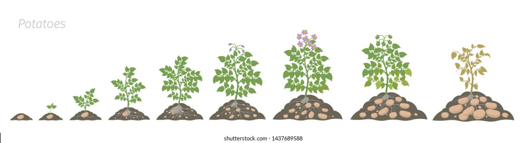Crop stages of potatoes plant. Growing spud plants. The life cycle. Harvest potato growth animation progression. Solanum tuberosum In the soil.