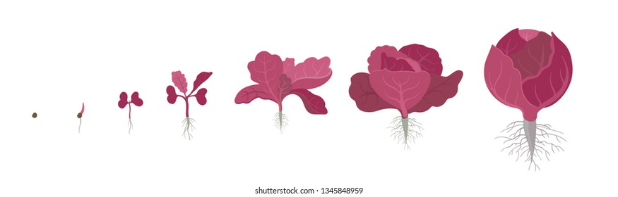 Crop stages of red cabbage. Also known as purple cabbage, red kraut, or blue kraut. Purple-leaved varieties of Brassica oleracea. Vector flat Illustration. Organic life cycle. Growing cabbage plants.