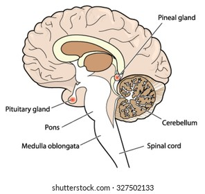 Cross section of brain showing the pituitary and pineal glands, cerebellum and brainstem.