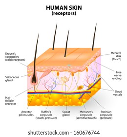 cross section human skin. Pressure, vibration, temperature, pain are transmitted via special receptory. 10 mm skin contains up to 2 receptors for heat, 12 for cold, 50 for pressure and 200 for pain.