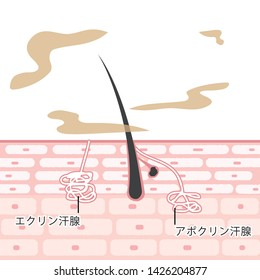 "Cross section of the skin Illustrations Sebaceous glands Apocrine sweat glands Eccrine sweat glands/ In Japanese ""Eccrine sweat gland""""Apocrine sweat gland"""