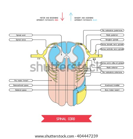 Cross Section Spinal Cord Central Nervous Stock Vector (Royalty Free ...