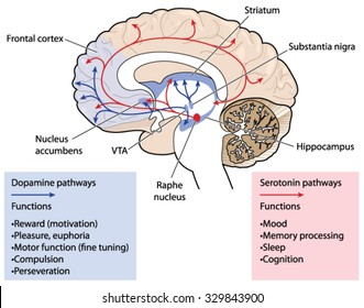 Hippocampus brain images stock photos vectors shutterstock cross section through the brain showing the dopamine and serotonin pathways affection mood memory ccuart Gallery