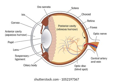 Cross section through the eye, showing the lens, retina and optic nerve.