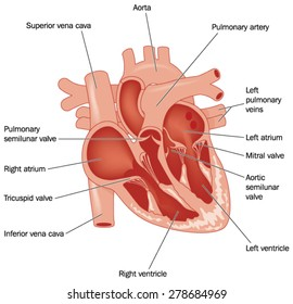 Cross section through the heart, showing the major vessels and named valves. Created in Adobe Illustrator.  Contains gradient meshes.  EPS 10.