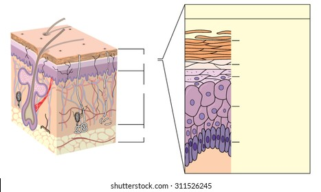 Cross section through skin, showing the various layers of the epidermis
