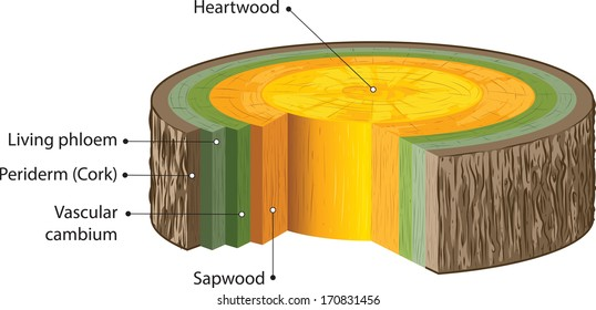 Cross section of woody stems.