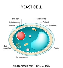 Cross section of a yeast cell. Structure of fungal cell. Vector diagram for educational, biological, and science use