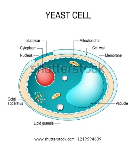 cross section yeast cell structure fungal stock vector (royalty freecross section of a yeast cell structure of fungal cell vector diagram for educational