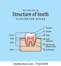Cross-section structure inside tooth diagram and chart illustration vector on blue background. Dental concept.