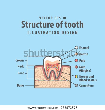 Crosssection Structure Inside Tooth Diagram Chart Stock Vector