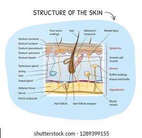 Cross-section view of a healthy human skin with tissue layers and senoric receptors. Medical info graphics on blue background. Hand drawn cartoon sketch vector illustration, marker style coloring.