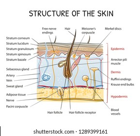 Cross-section view of a healthy human skin with tissue layers and senoric receptors. Medical info graphics on white background. Hand drawn cartoon sketch vector illustration, marker style coloring.