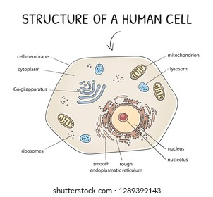 Cross-section view of a human cell with its cell organelles. Medical info graphics on white background. Hand drawn cartoon sketch vector illustration, marker style coloring.