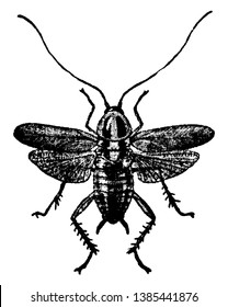 Croton Bug adult form with wings spread, vintage line drawing or engraving illustration.