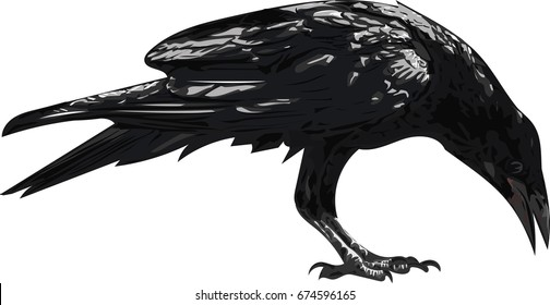 Crow Bird  - Vector illustration