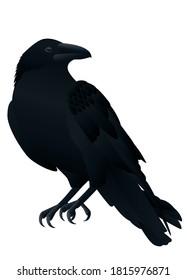 Crow,Black raven bird isolated on white background.