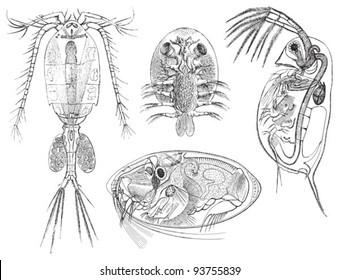 Crustacean / vintage illustration from Meyers Konversations-Lexikon 1897