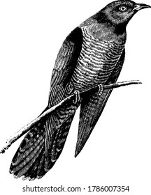 The Cuckoo is a dove-sized bird of the family Cuculidae, whose voice is imitated by cuckoo clocks. They are slender-bodied, long-tailed birds with medium to stout down-curved bills, and pointed wings