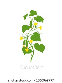Cucumber plant. Cucumis sativus. Agriculture cultivated cucumber plant. Green leaves. Flat color Illustration clipart on white background.