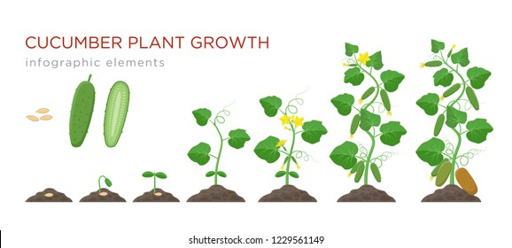 Cucumber plant growth stages infographic elements in flat design. Planting process of cucumber from seeds sprout to ripe vegetable, plant life cycle isolated on white background, vector illustration.