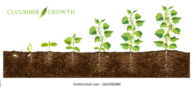 cucumber plant growth stages from seed to flowering and ripening. illustration of cucumber feld and life cycle of healthy plants with underground roots system isolated on white. organic gardening
