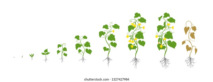 Cucumber plant. Growth stages. Vector illustration. Cucumis sativus. Ripening period. The life cycle of the cucumbers. Root system. Use fertilizers. On white background.