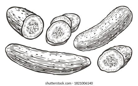 Cucumbers sketch. Vegetables, natural food vector illustration
