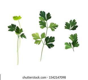 Culinary herb, green fresh parsley leaves