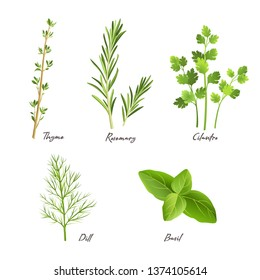 Culinary herbs isolated on white. Vector illustration