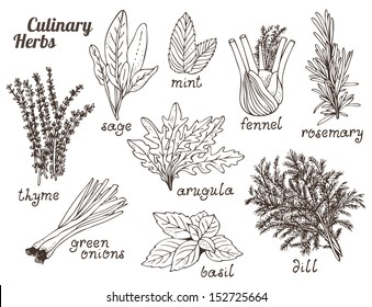 Culinary herbs on a white background, hand drawn set