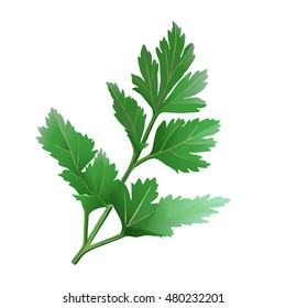 Culinary Herbs - Parsley. Hand drawn vector illustration of fresh parsley on transparent background.