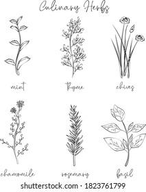 Culinary Herbs Print - Linear sketcth - Vector