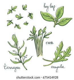 Culinary herbs and salad leaves set/ Arugula, cress, tarragon, bay leaf sketches/ Hand drawn herbs and spices isolated on white background/ Vector illustration