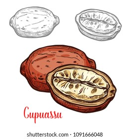 Cupuassu fruit sketch of tropical rainforest tree fresh berry. Whole and half fruit of brazilian cupuassu isolated icon for exotic dessert, fruity drink and tropical cocktail design