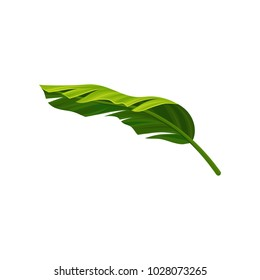 Curved leaf of banana palm tree with light and shadow. Bright green element of exotic plant. Tropical theme. Detailed flat vector illustration