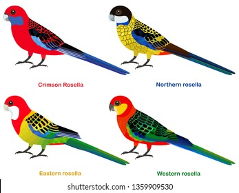 Cute Australia parrots, Rosella bird vector illustration set, Eastern rosella, Western, Crimson Rosella, Northern Rosella