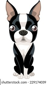 Cute Boston Terrier Puppy Dog front view, check my other dog breeds.