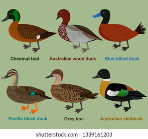 Cute duck aquatic bird vector illustration set, Chestnut teal, wood duck, blue-billed duck, Pacific black duck, Grey teal, shelduck, Colorful cartoon collection