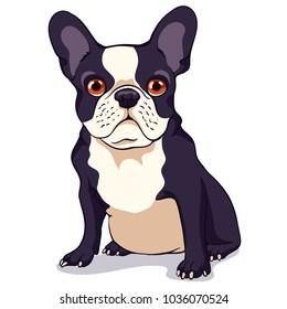 Cute French bulldog with a black and white color of wool on a white background. Cartoon character. Vector illustration.