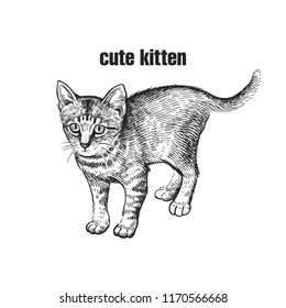 Cute kitten. Home pet isolated on white background. Sketch. Vector illustration art. Realistic portrait of animal in style vintage engraving. Black and white hand drawing of cat.