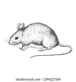 Cute little mouse illustration - black and white vector