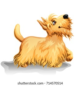 The cute puppy of a dog of Scottish Terrier costs looking up and having raised a pad. A yellow dog a symbol 2018 new years according to the Chinese calendar. A cartoon vector illustration.
