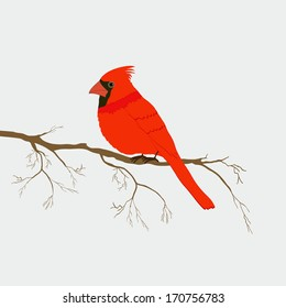 Cute red cardinal bird isolated on branch