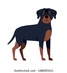 cute rottweiler dog on white background
